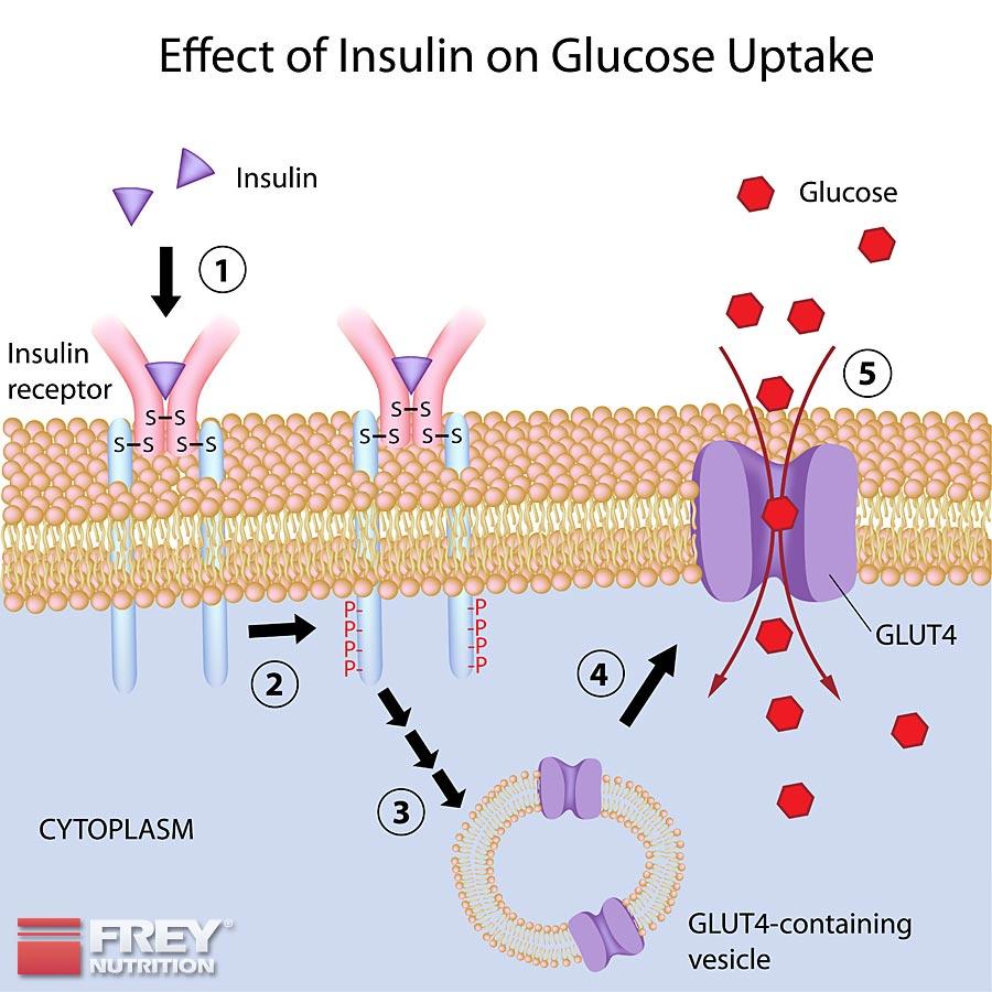 Insulineffekt und die Glukoseaufnahme