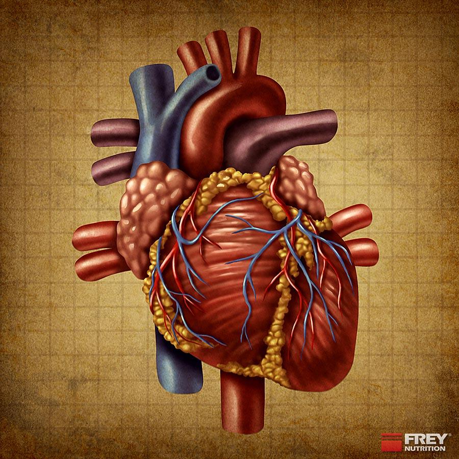 Niedrige Cholesterinwerte fördern die Herzgesundheit