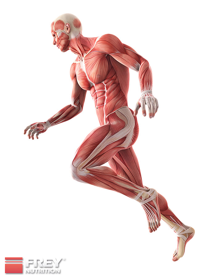 Informationen über Muskulatur und Körpertypen
