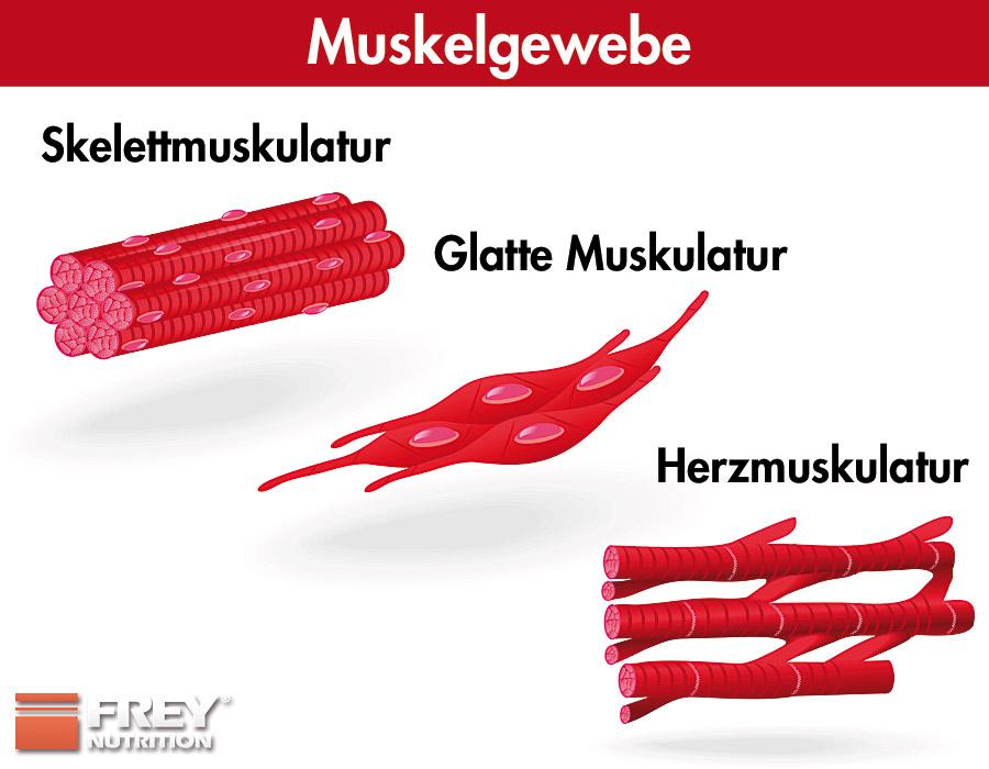 Die unterschiedlichen Muskelarten